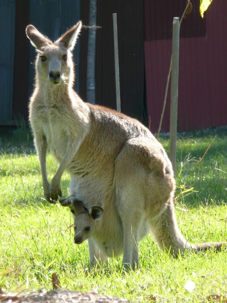 Canguro dentro del marsupio