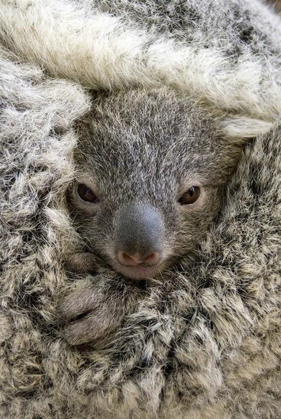 Bebé koala en la bolsa de su mamá