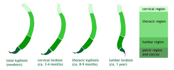 Desarrollo de la columna vertebral en el primer año de vida